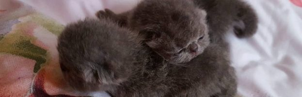 Newborns Exotic Kittens Available Now – May 2016