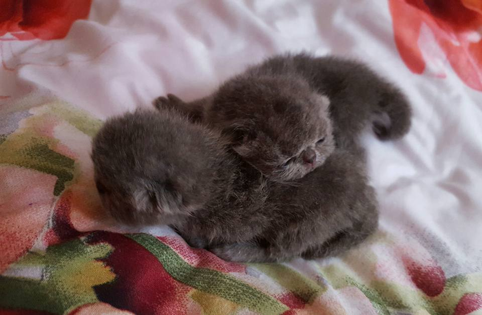newborns exotic kittens