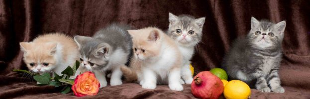 Cute Exotic Kittens Available Now – July 2017 (Photos)