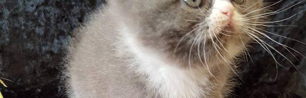 Exotic Shorthair Kittens Available – November 2018